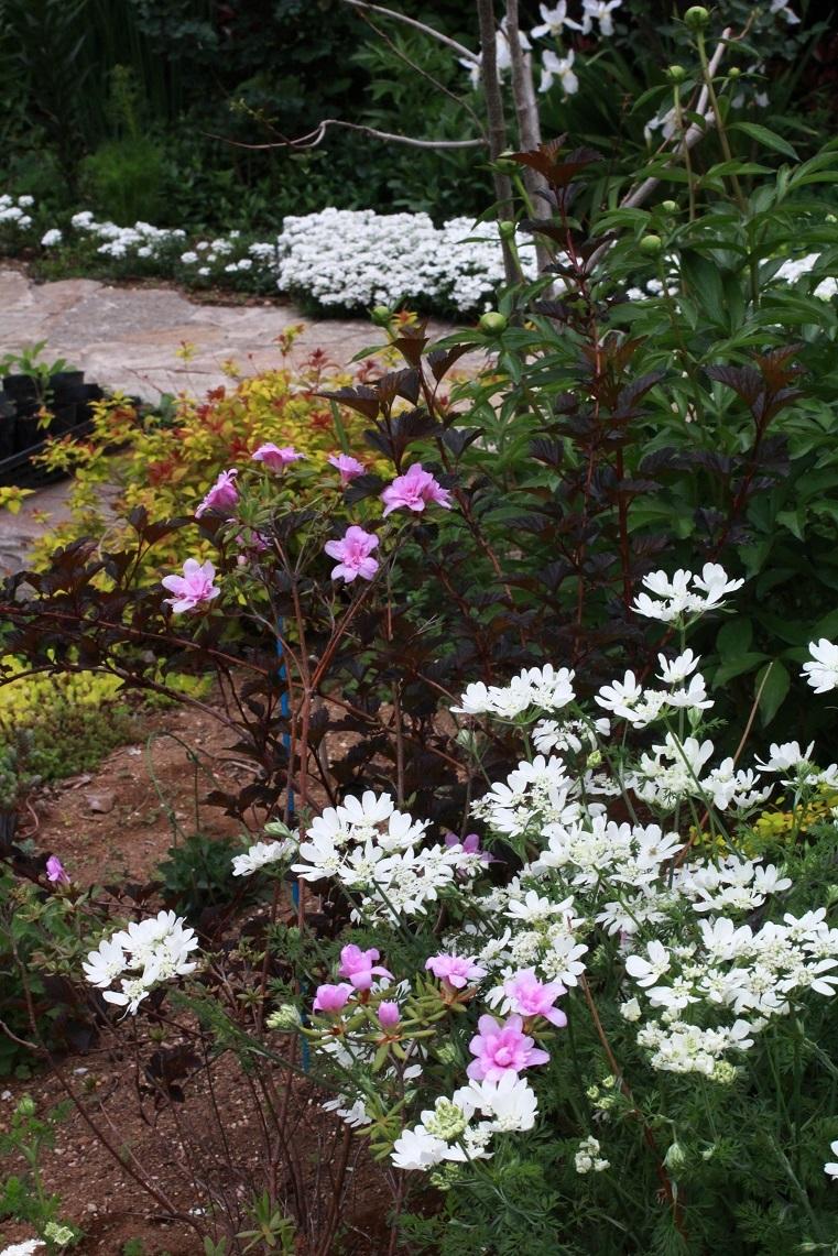 白い花たち ~オルレア、イベリス、イチハツ~_a0107574_18321667.jpg