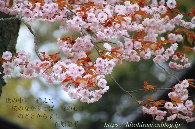 奈良の桜と鹿_f0374092_14485961.jpg