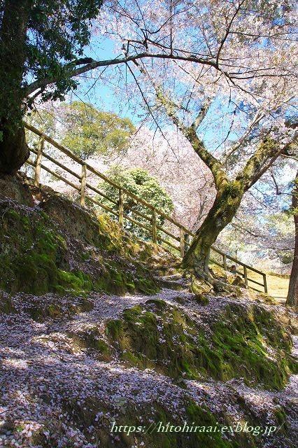 奈良の桜と鹿_f0374092_15060812.jpg