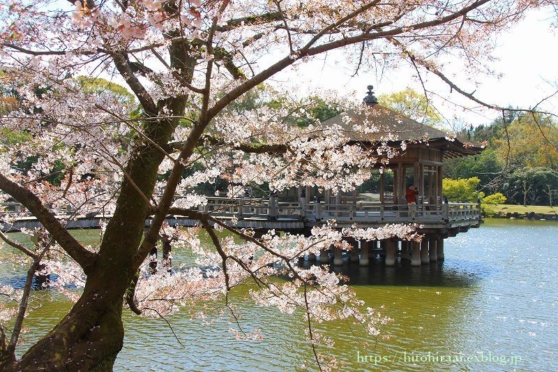 奈良の桜と鹿_f0374092_15113998.jpg