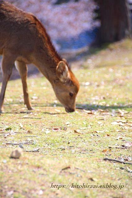 奈良の桜と鹿_f0374092_15141412.jpg