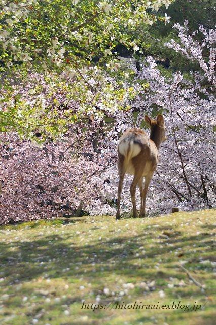 奈良の桜と鹿_f0374092_15143569.jpg