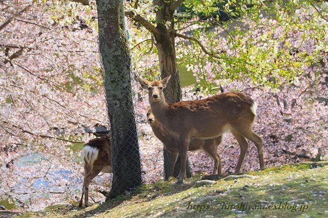 奈良の桜と鹿_f0374092_15145816.jpg