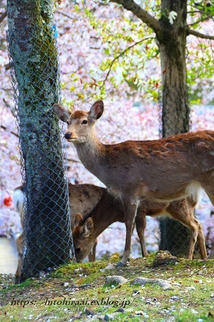 奈良の桜と鹿_f0374092_15161435.jpg
