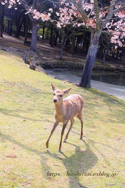 奈良の桜と鹿_f0374092_15221161.jpg