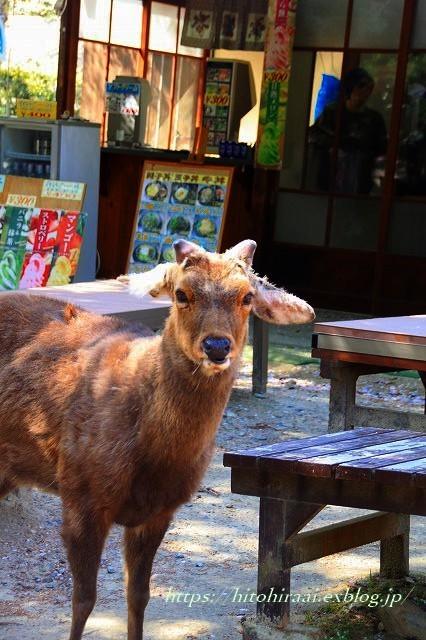 奈良の桜と鹿_f0374092_15233524.jpg