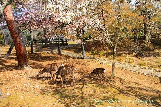 奈良の桜と鹿_f0374092_15292857.jpg