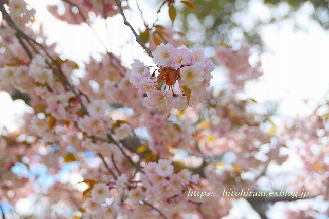 奈良の桜と鹿_f0374092_21381674.jpg