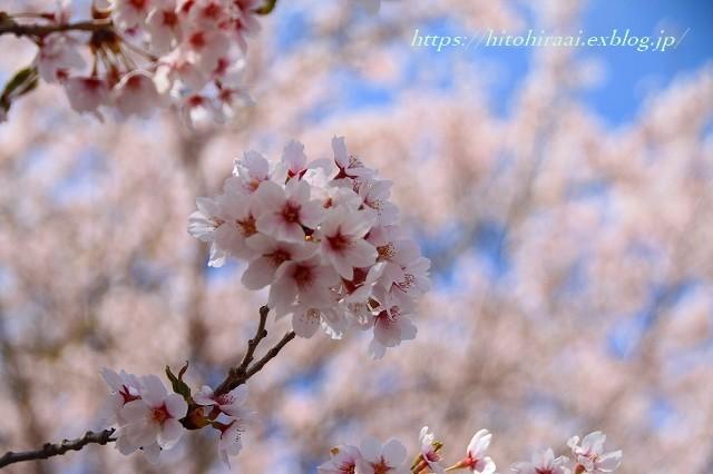 富士山と桜 河口湖畔_f0374092_23073566.jpg
