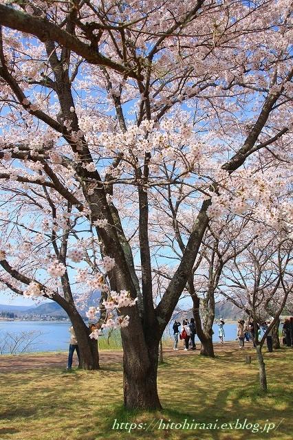 富士山と桜 河口湖畔_f0374092_23082617.jpg