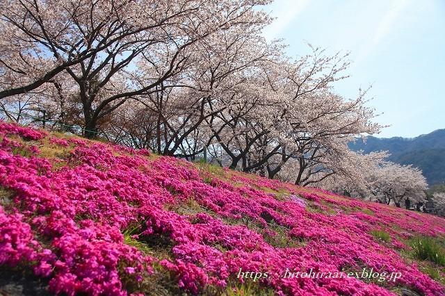 富士山と桜 河口湖畔_f0374092_23134747.jpg