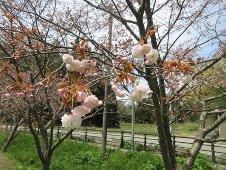 ことしのさくら・良寛記念館・摘み草 など_a0203003_16325798.jpg
