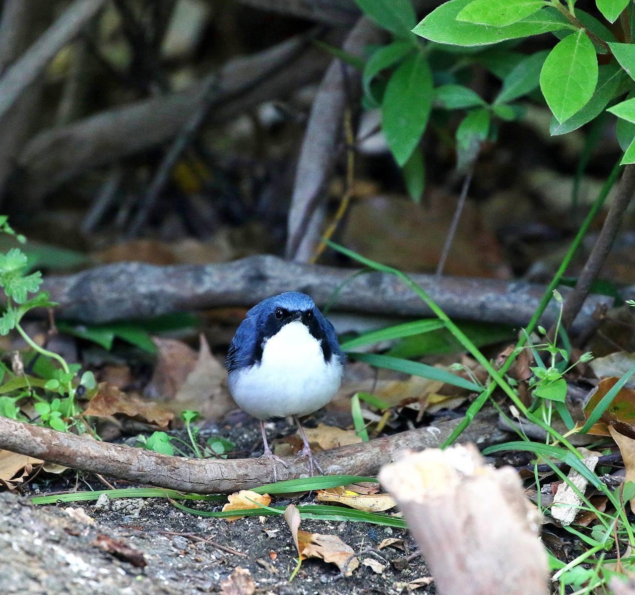 綺麗なコルリ♂成鳥がやってきた・・・_c0213607_13075987.jpg