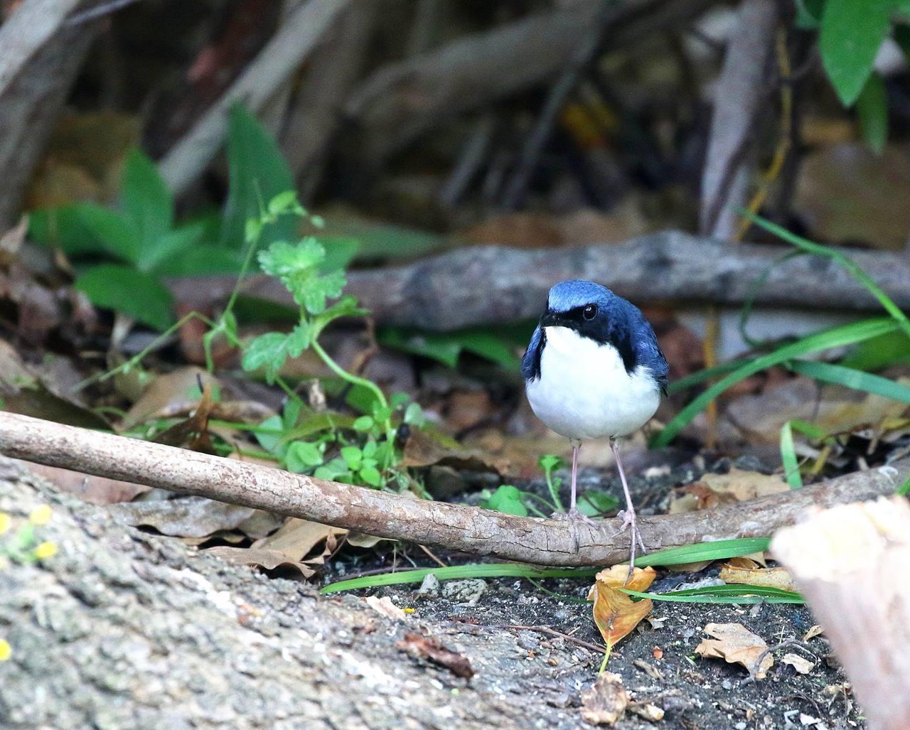 綺麗なコルリ♂成鳥がやってきた・・・_c0213607_13084485.jpg