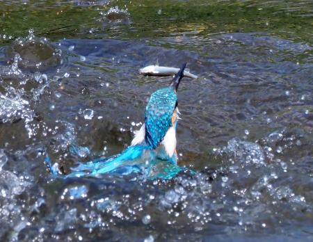 4月28日(日) カワセミのヒナが孵ったようで、10分おきくらいて゛鮎を運んでいました。_b0369117_14114027.jpg