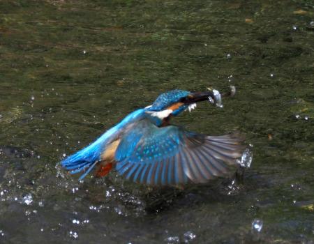 4月28日(日) カワセミのヒナが孵ったようで、10分おきくらいて゛鮎を運んでいました。_b0369117_14120790.jpg