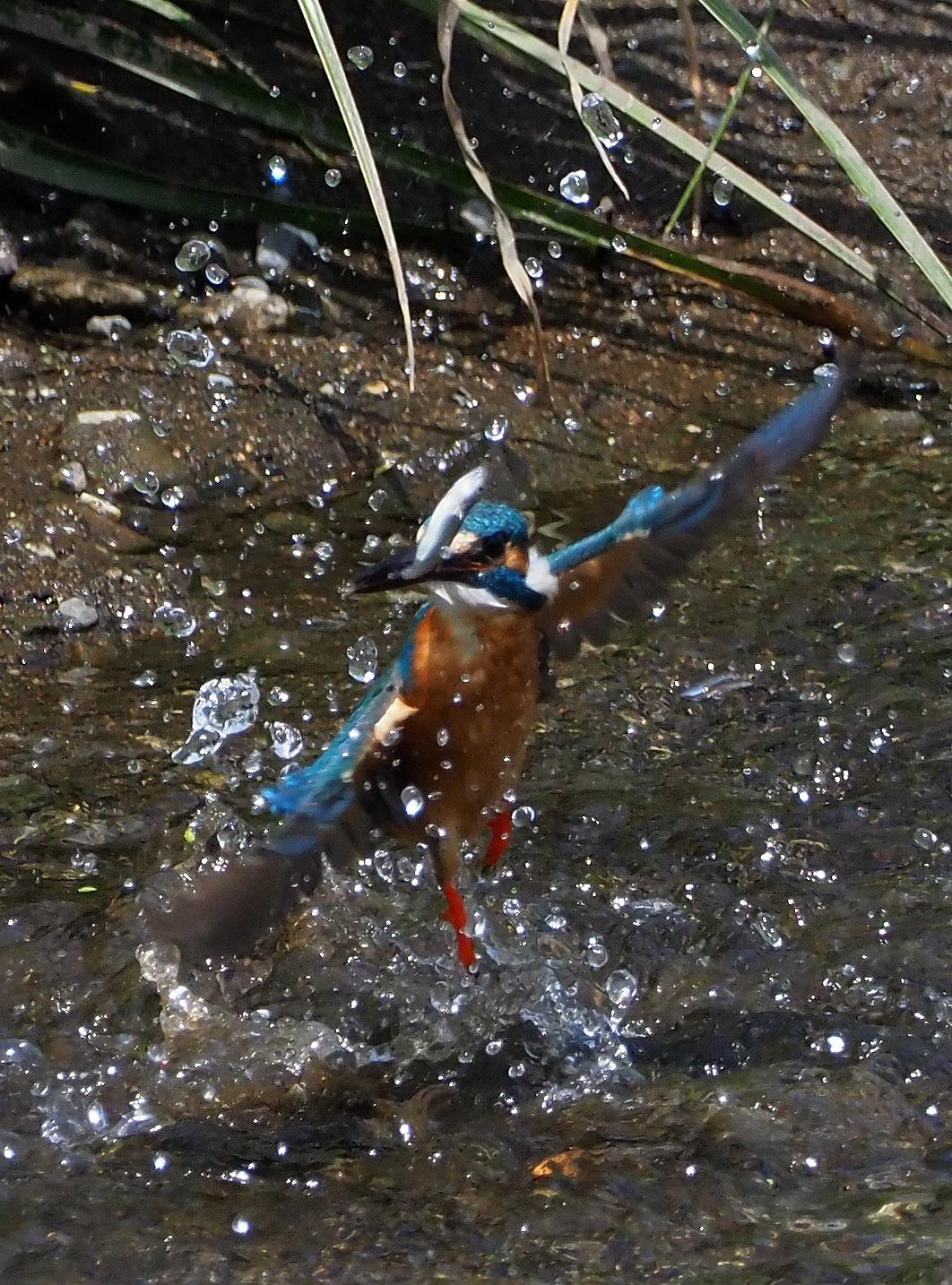 4月28日(日) カワセミのヒナが孵ったようで、10分おきくらいて゛鮎を運んでいました。_b0369117_14161841.jpg
