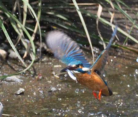 4月28日(日) カワセミのヒナが孵ったようで、10分おきくらいて゛鮎を運んでいました。_b0369117_14162552.jpg