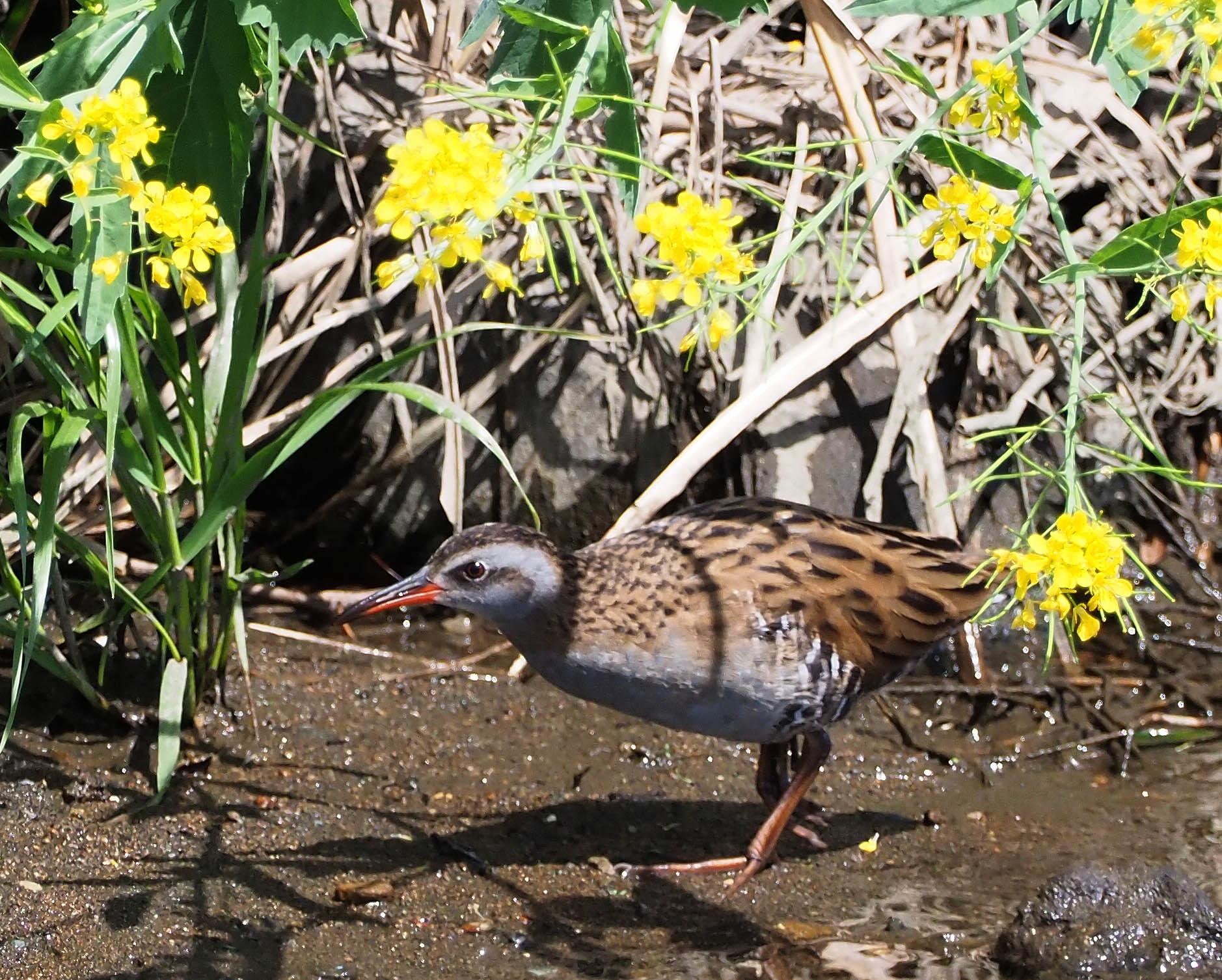 4月28日(日) カワセミのヒナが孵ったようで、10分おきくらいて゛鮎を運んでいました。_b0369117_15395907.jpg
