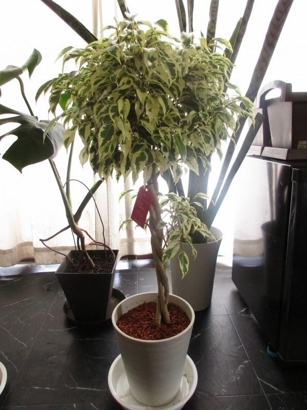 """植物「フィカス・ベンジャミン\"""" スターライト ビューティクイーン \""""」_b0362459_16152688.jpg"""