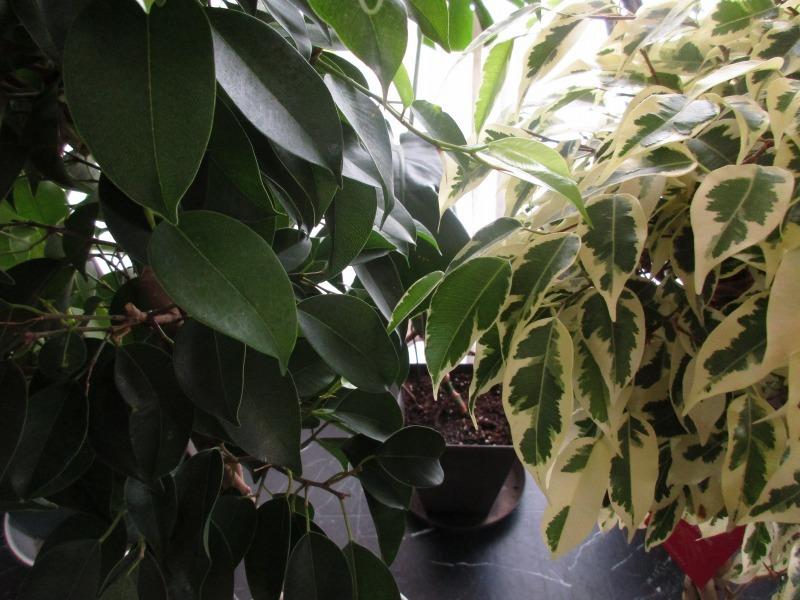 """植物「フィカス・ベンジャミン\"""" スターライト ビューティクイーン \""""」_b0362459_16170166.jpg"""