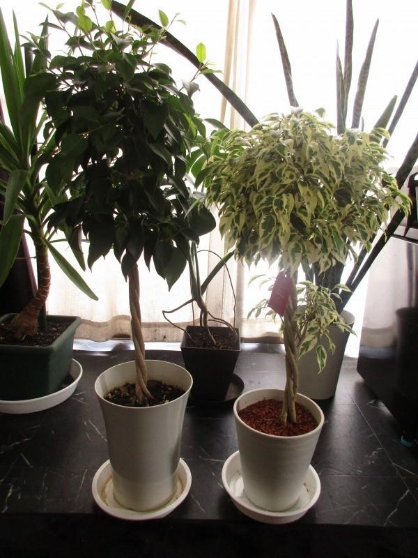 """植物「フィカス・ベンジャミン\"""" スターライト ビューティクイーン \""""」_b0362459_16253853.jpg"""