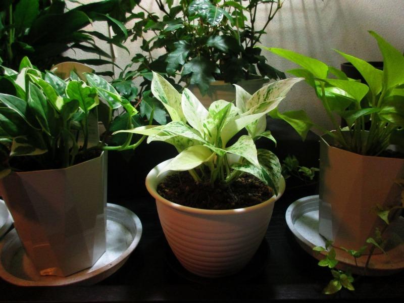 """植物「フィカス・ベンジャミン\"""" スターライト ビューティクイーン \""""」_b0362459_16332918.jpg"""
