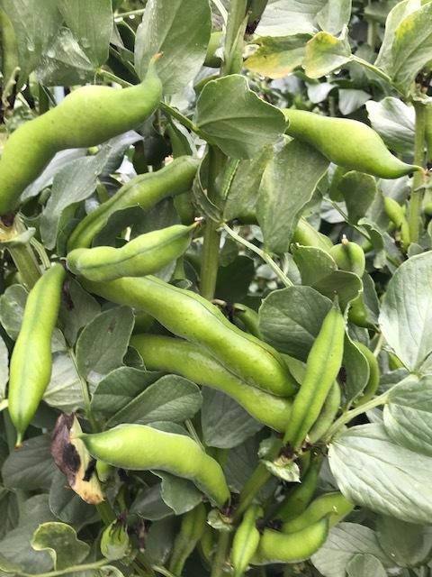ソラマメ収穫、サトイモ発芽4・27_c0014967_06330503.jpg