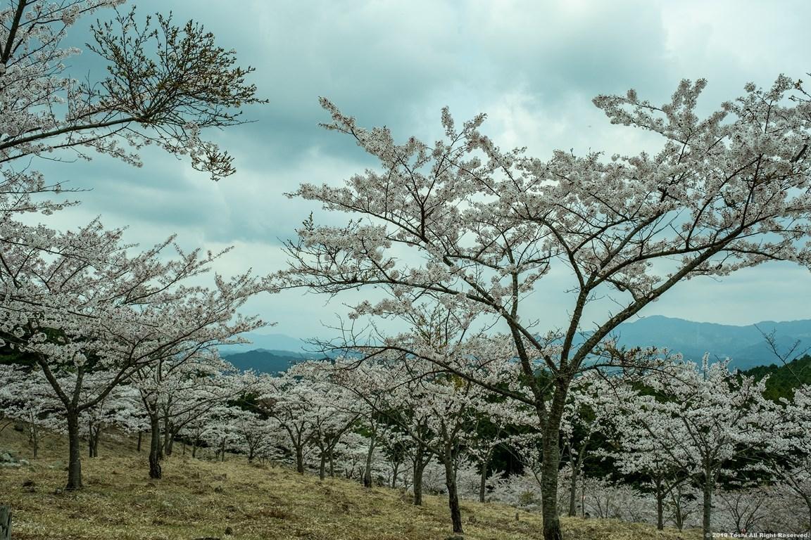 ここも宇陀の桜_c0350572_15404423.jpg
