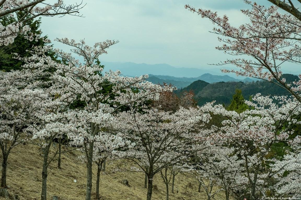 ここも宇陀の桜_c0350572_15405119.jpg