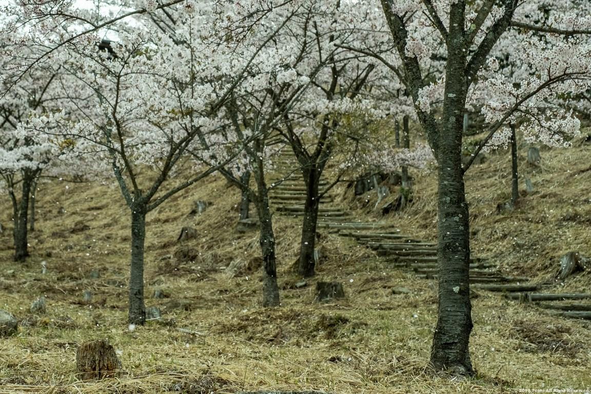 ここも宇陀の桜_c0350572_15410737.jpg