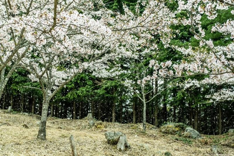 ここも宇陀の桜_c0350572_15411154.jpg