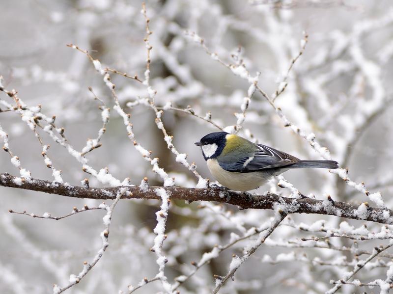 4月下旬の降雪とカラ類たち_a0204089_5552873.jpg
