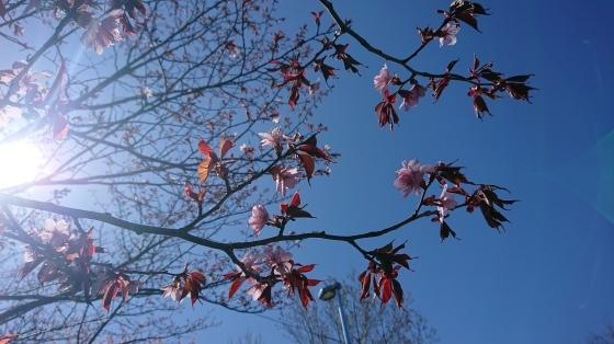 桜よ、咲いて^-^。_d0198793_09312309.jpg