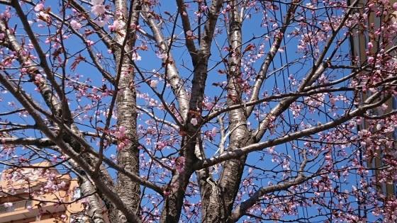 桜よ、咲いて^-^。_d0198793_09314573.jpg