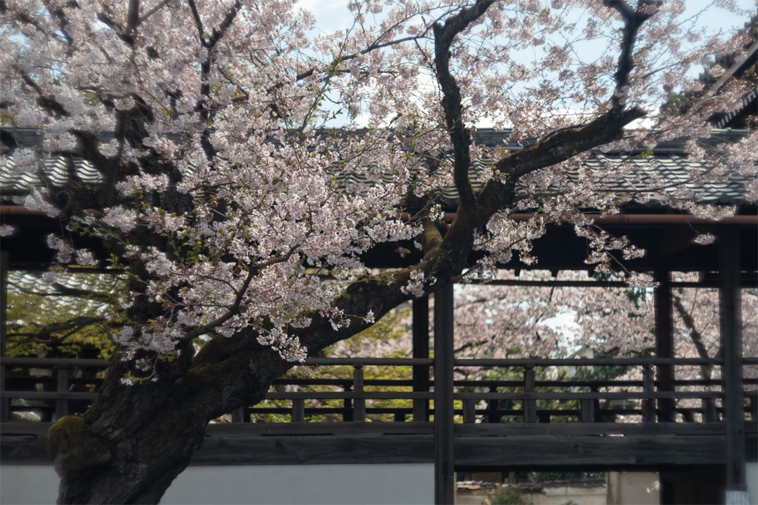 桜 2019年 ~ 妙顕寺 ~_b0221605_15253373.jpg