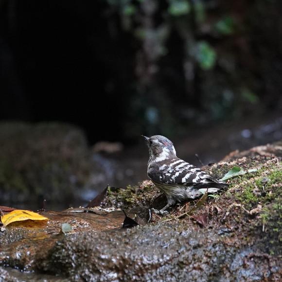 『滝』で捉えたコゲラの水浴    ITR_d0346713_19595186.jpg