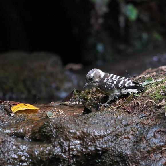『滝』で捉えたコゲラの水浴    ITR_d0346713_20000180.jpg