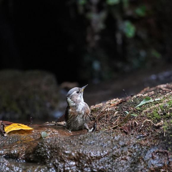 『滝』で捉えたコゲラの水浴    ITR_d0346713_20001389.jpg