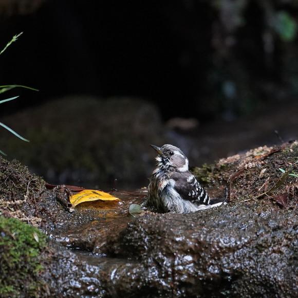 『滝』で捉えたコゲラの水浴    ITR_d0346713_20002016.jpg