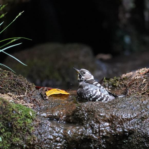『滝』で捉えたコゲラの水浴    ITR_d0346713_20004059.jpg