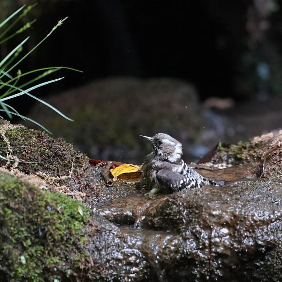 『滝』で捉えたコゲラの水浴    ITR_d0346713_20004754.jpg