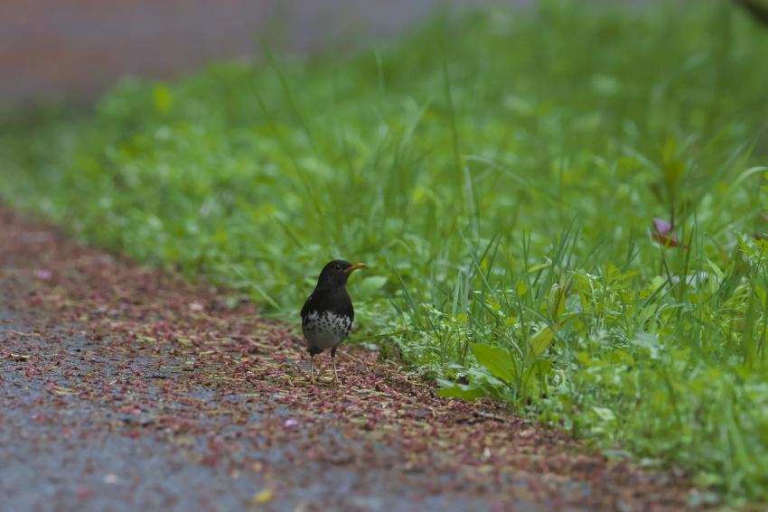 夏鳥到着_e0268015_19150992.jpg