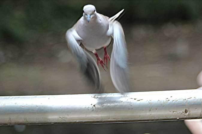 大宮公園小動物園「とりたちのらくえん」~嗚呼、シラコバト(July 2018)_b0355317_13414523.jpg