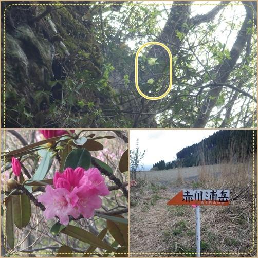 赤川浦岳へ、白のアケボノツツジを求めて_e0164643_15455908.jpg