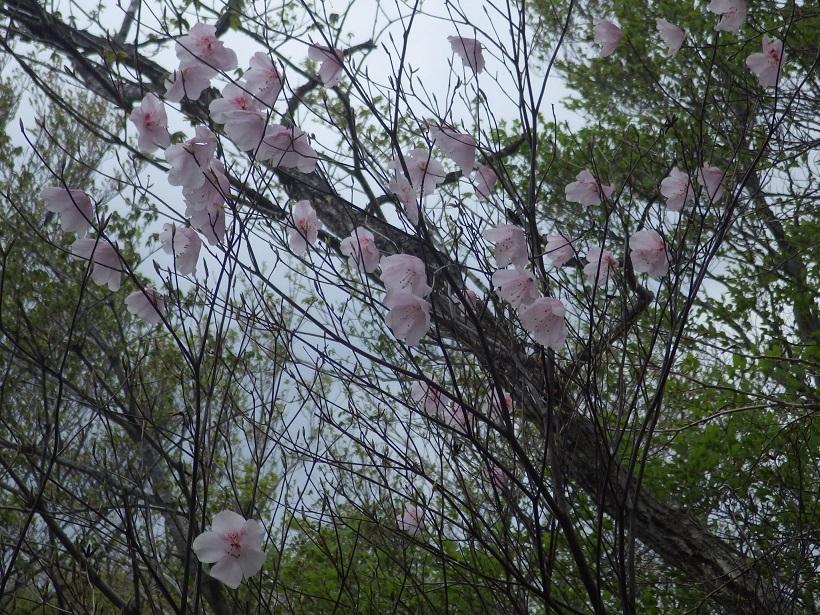 赤川浦岳へ、白のアケボノツツジを求めて_e0164643_15462008.jpg