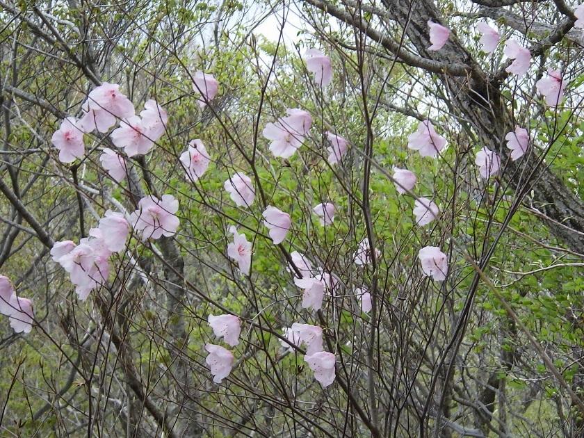 赤川浦岳へ、白のアケボノツツジを求めて_e0164643_15462988.jpg