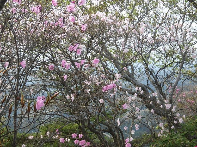 赤川浦岳へ、白のアケボノツツジを求めて_e0164643_15465072.jpg
