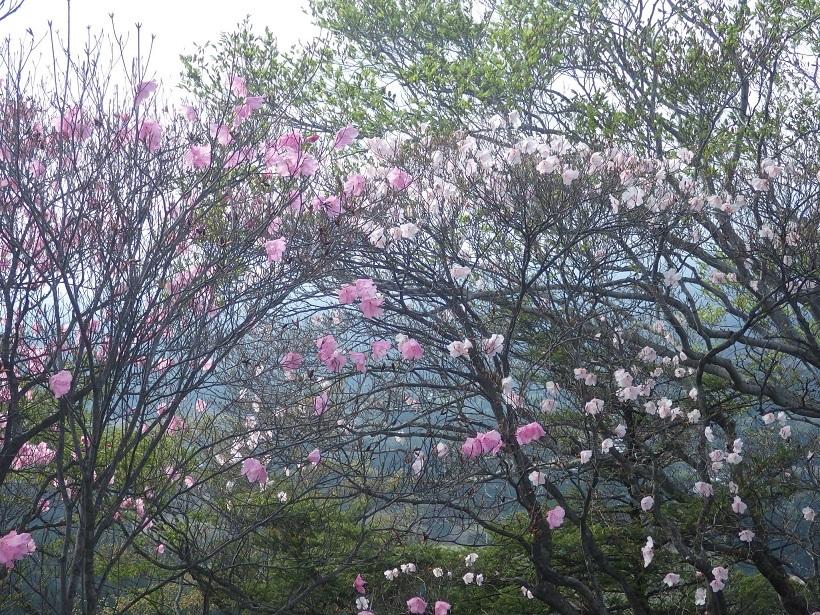赤川浦岳へ、白のアケボノツツジを求めて_e0164643_15470258.jpg