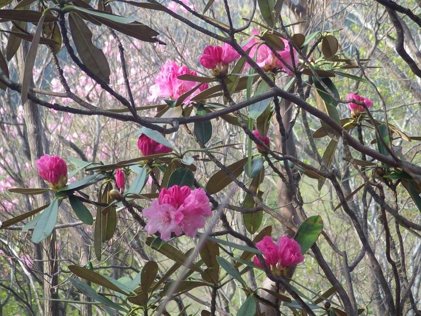 赤川浦岳へ、白のアケボノツツジを求めて_e0164643_15471896.jpg